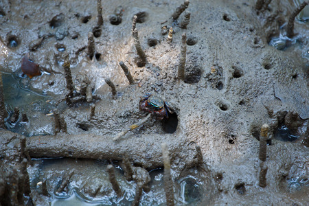 mangroves: The crabs are living in the mangroves.