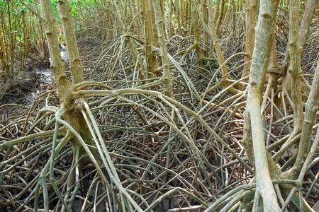 run down: mangrove forest when sea water run down in Thailand Stock Photo