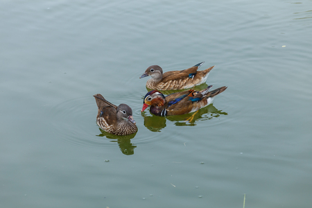 waterfowl: waterfowl in pond Stock Photo