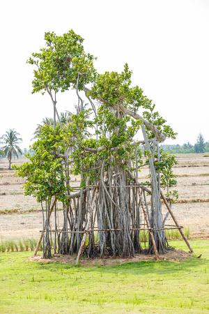 banyan tree in garden Stock Photo