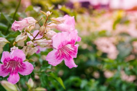 Pandorea Ricasoliana flower in garden Stock Photo