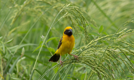 Asian Golden Weaver (male) on the rice field in Thailand. Banque d'images