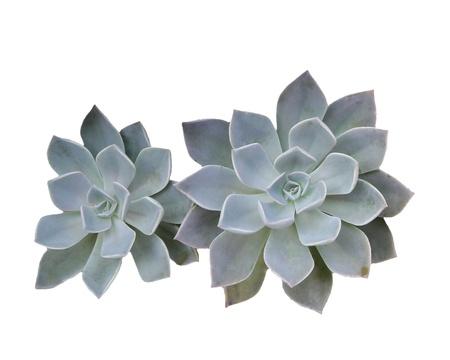 Crassulaceae isolate over white background Stock Photo