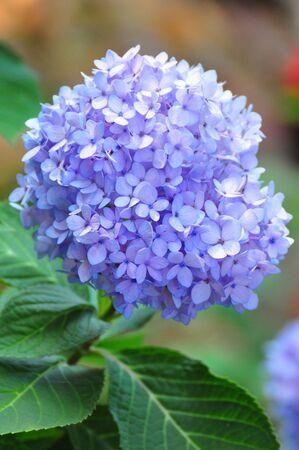 plants species: Ortensia (nomi comuni ortensia o Hortensia) � un genere di 70-75 specie di piante da fiore originaria dell'Asia meridionale e orientale Archivio Fotografico