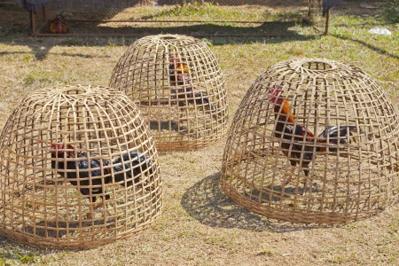 chicken cage: chicken in cage made from weave bamboo