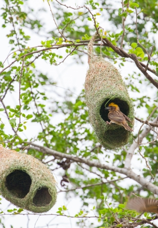 The Baya Weaver  Ploceus philippinus  is a weaverbird found across South and Southeast Asia  photo