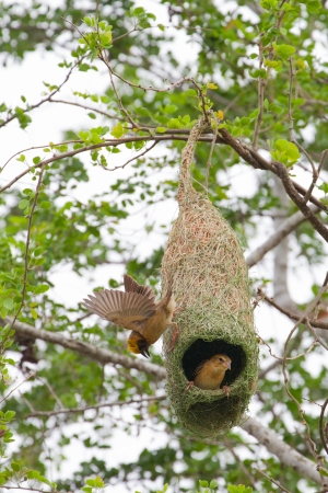 weaver bird nest: The Baya Weaver  Ploceus philippinus  is a weaverbird found across South and Southeast Asia