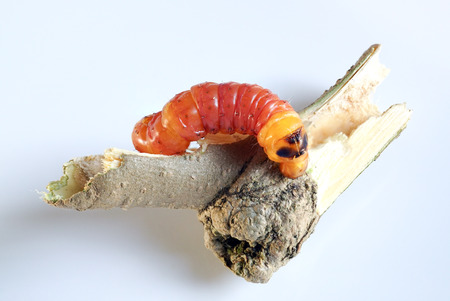 Round Headed Borer larva. Wood worm.