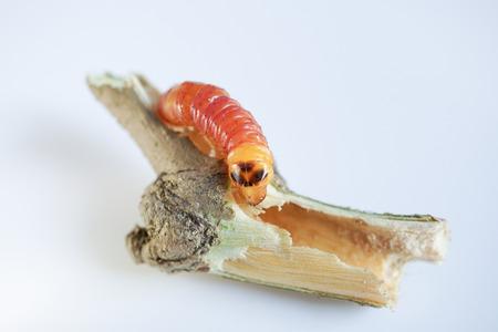 borer: Round Headed Borer larva. Wood worm.