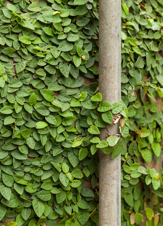 Background of Coatbuttons or Mexican daisy on the wall.  Ficus pumila common name, creeping fig indicates, the plant has a creepingvining habit and is often used in gardens and landscapes where it covers the ground and climbs up trees and walls.