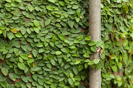 creeping fig: Background of Coatbuttons or Mexican daisy on the wall.  Ficus pumila common name, creeping fig indicates, the plant has a creepingvining habit and is often used in gardens and landscapes where it covers the ground and climbs up trees and walls.
