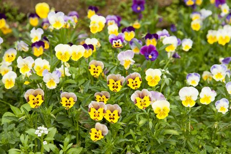 Flower bed with multicolored pansies.