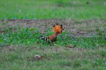 Hoopoe Upupa epops on green meadow.
