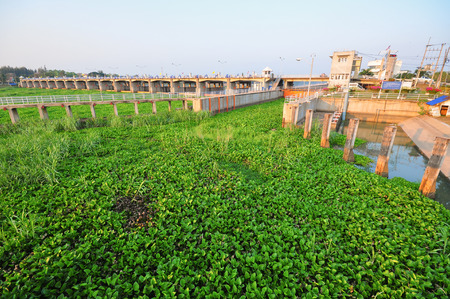 ecosystems: Water hyacinth Eichornia crassipes in the Chao Phraya river. Water hyacinthis the problem of aquatic ecosystems of Thailand . Stock Photo