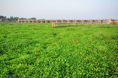 chao phraya river: Water hyacinth Eichornia crassipes in the Chao Phraya river. Water hyacinthis the problem of aquatic ecosystems of Thailand . Stock Photo