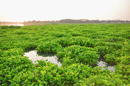 Water hyacinth Eichornia crassipes in the Chao Phraya river. Water hyacinthis the problem of aquatic ecosystems of Thailand . Stock Photo