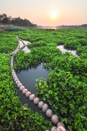 chao phraya river: Water hyacinth Eichornia crassipes in the Chao Phraya river. Water hyacinthis the problem of aquatic ecosystems of Thailand . Stock Photo