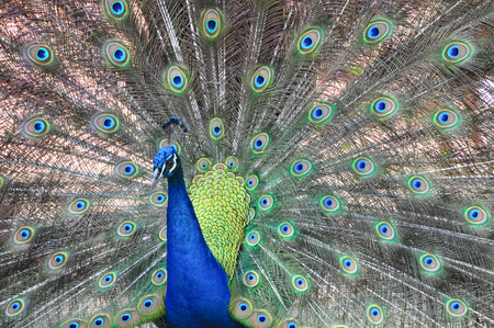 Portrait of beautiful peacock with feathers out.