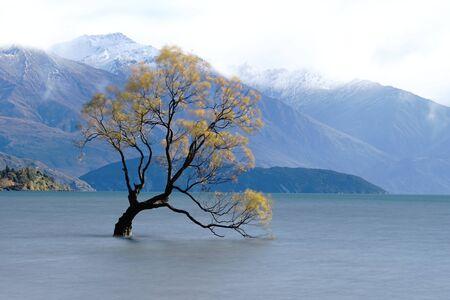 Lone willow tree at lake wanaka new zealand.  That Wanaka Tree is located right in the town of Wanaka on New Zealand's South Island.