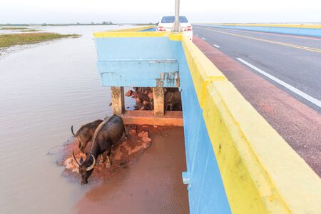 Water buffalo on ground under elevated road pass through in Talay noi lake, Pattalung province Thailand.