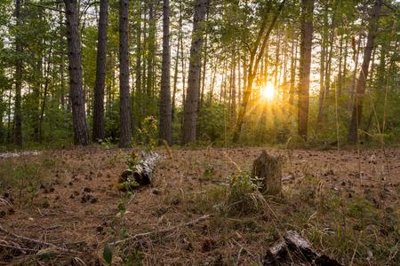 Woodland at sunset Stock Photo