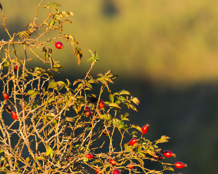 Red Fruits at sunset