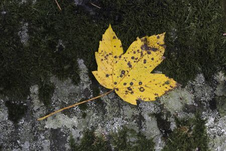 yellow maple leaf in autumn on stone background with moss
