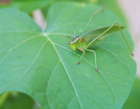 photgraphy: Big green grasshopper on green leaves Stock Photo