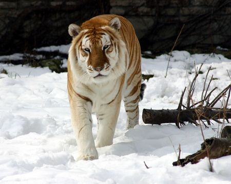 Siberian Tiger In The Snow photo
