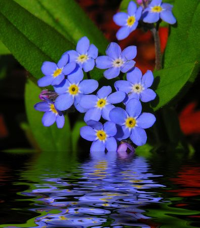 not to forget: Forget Me Not Reflections Stock Photo