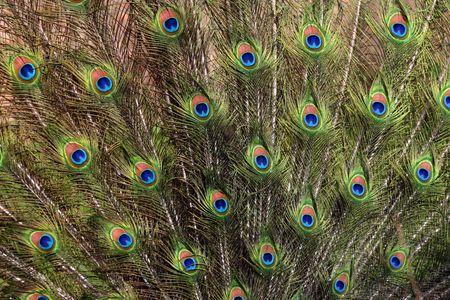 atraer: Peacock Feathers  Foto de archivo