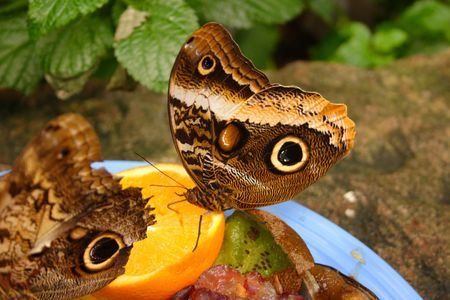 Hungry Butterflies photo
