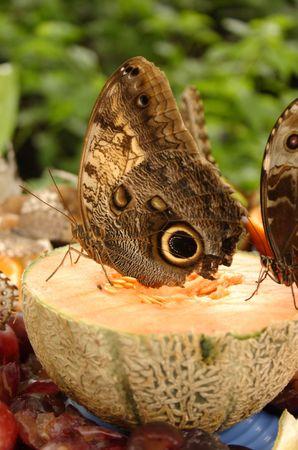 Owl Butterfly On Cantaloupe photo