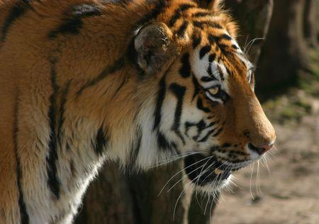 fierce: Siberian tiger looking fierce