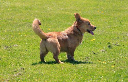 panting: Corgi stands in the grass panting Stock Photo