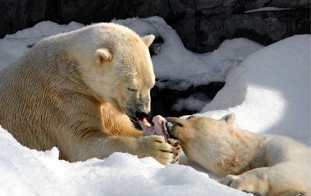 고기의: Two polar bears sharing a meaty bone