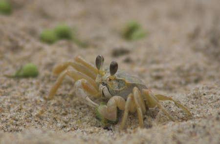 vegatation: Sand crab gathering some green vegatation Stock Photo