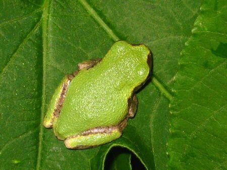 葉のグリーン ツリーのカエル。