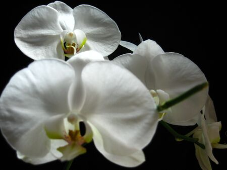 visually: A white orchid with three flowers, with the one in the back being visually clearer than the other two.  Stock Photo