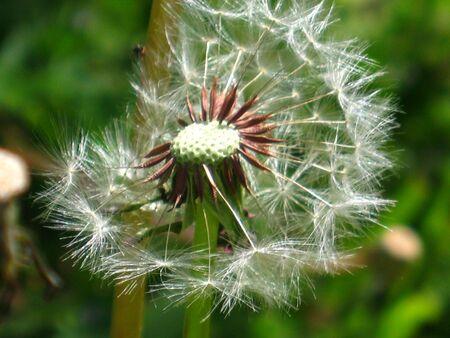 wind blown: A dandelion that has been wind blown. Stock Photo