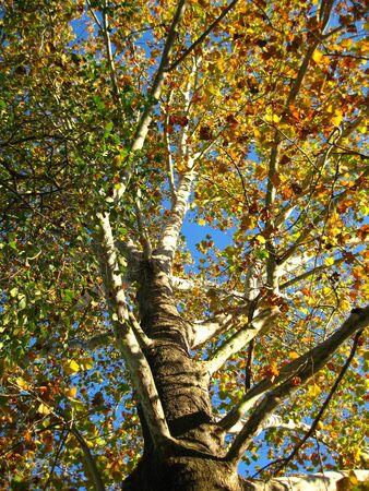 sicomoro: Un albero alti sicomoro. Archivio Fotografico