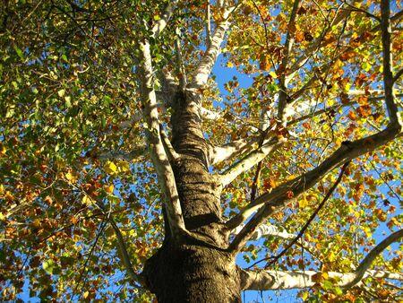 sicomoro: Un sicomoro in autunno.