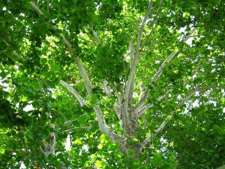 プラタナス: 背の高いプラタナスの木の枝。
