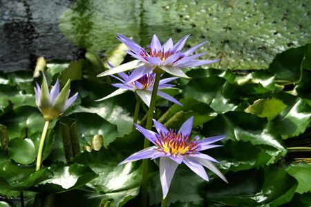 egyptian lily: Water Lily - Nymphaea caerulea in the pond with water lilies and leaves