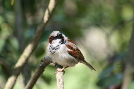 passer    by: brown sparrow, Passer domesticus, on a branch