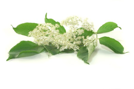 an elder branch with flowers on a white background
