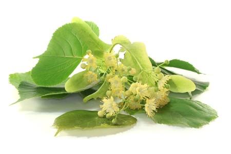ein Zweig der Linden Blumen auf weißem Hintergrund Standard-Bild