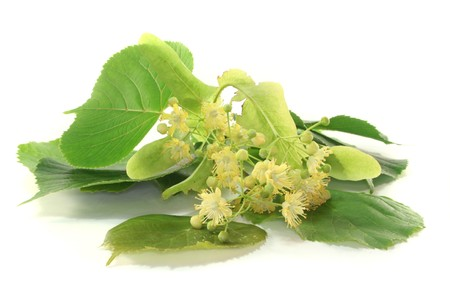 ein Zweig der Linden Blumen auf weißem Hintergrund Lizenzfreie Bilder