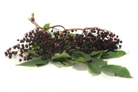 Holundersaft mit älteren Beeren auf dem Zweig mit Laub Lizenzfreie Bilder - 7700058