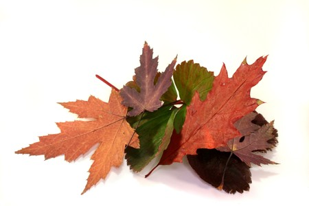 colorful maple trees: reddish brown autumn leaves on a white background Stock Photo